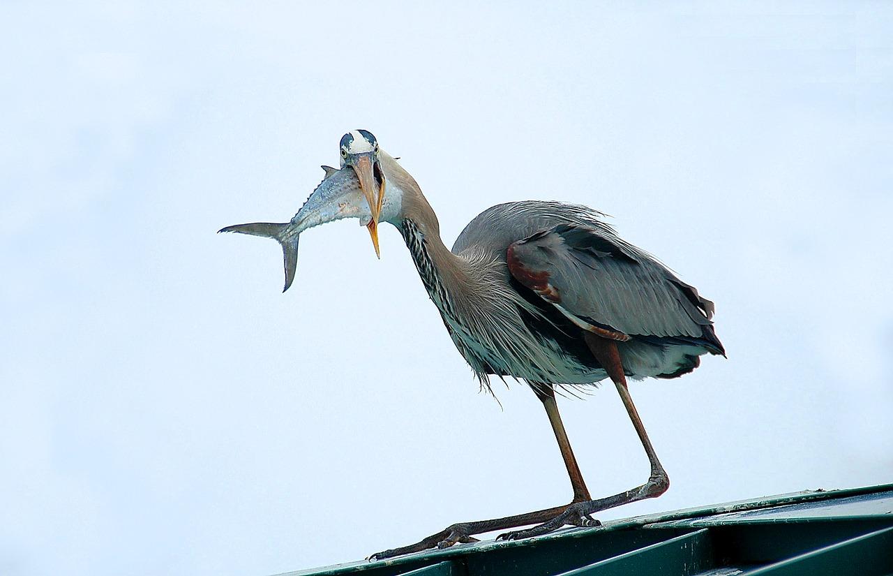 great-blue-heron-1644259_1280
